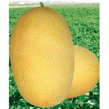 HSM03 Kaolv ovale jaune d'or F1 hybride hami graines de melon, melon miellat