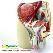 ANATOMY01 (12439) Körpergröße Männlicher Beckenschnitt Anatomisches Modell, 4 Teile, Anatomiemodelle> Männliche / weibliche Modelle> Beckenmodelle