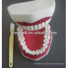 Modèle de soins dentaires médicaux de style nouveau, modèle dentaire en plastique dentaire