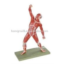 Modèle de muscles humains de 50 cm