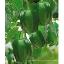 HSP24 Zongda grande brillante verde F1 semillas híbridas de dulce / pimiento en semillas de hortalizas