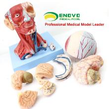 MUSCLE15 (12309) Tête modèle anatomique d'enseignement avec des muscles et l'anatomie de vaisseau sanguin de cerveau 12309
