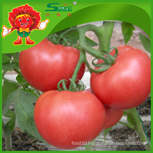 Large red tomatoes for export