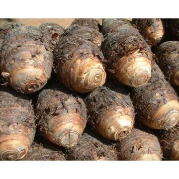 Une qualité nouvelle récolte Taro à vendre