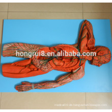 ISO Advanced Human Lymph System Modell, Anatomisches Modell