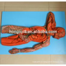 Modelo de sistema linfático humano avançado ISO, modelo anatômico