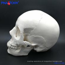 PNT-0158 modelo de crânio adulto, 22 peças de alta qualidade