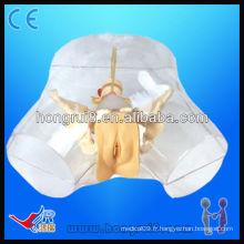 Cathéter urétral modèle de cathétérisme urétral transparent de haute qualité médical transparent
