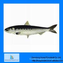 high quality new landing frozen sardine