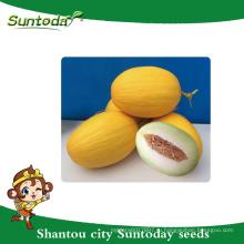 Suntoday желтый цвет кожуры с белой-зеленой мякоти овоща ботаническое название названия питомника гибрид F1 непищевых семена дыни
