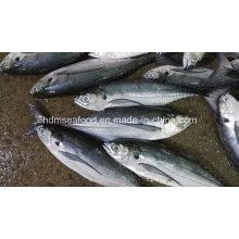 25cm + gran tamaño Hardtail Scad pescado congelado