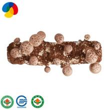 Qihe edible fungi shiitake mushroom seeds