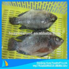 500-800g de excelente qualidade de peixe fresco congelado de tilápia