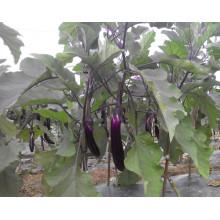 HE01 Tuichu длинный фиолетовый красный гибридные семена баклажан