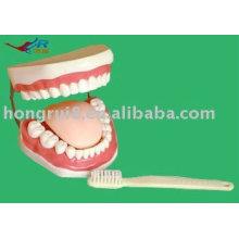 Modelo avançado de dentes dentários de PVC, modelo de dente humano
