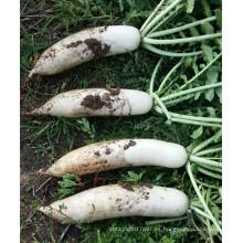 HR01 Jansi blanco resistente al calor OP semillas de rábano en semillas de hortalizas