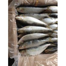 Toda la gran especificación de pescado de sardina congelada para el mercado