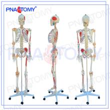ПНТ-0103 медицинской модели 180см с цветными мышцы и скелет связки