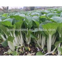 Sementes de repolho chinês híbrido CC08 Yinong excelente doença resistente