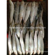 Fresh W/R Frozen Sardine Fish for Bait