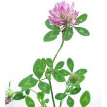 Red Clover PE