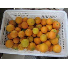 Exportação Profissional Top Quality Navel Orange