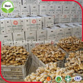 Jengibre maduro fresco chino de vegetales frescos