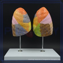 PNT-0474 hot sale respiratory system lung model for sale