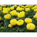 Natural Marigold Extract 5% 90% Lutein
