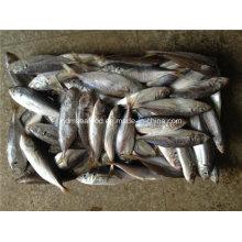 Замороженная рыба с большим глазом (японская скумбрия)