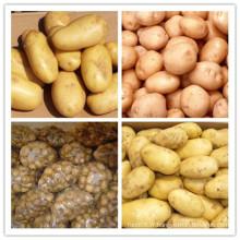 Nouvelle culture de pommes de terre chinoises fraîches