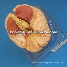 ISO Deluxe Gehirn Anatomisches Modell, Gehirn Anatomie