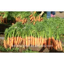 CA04 Xiuhong mi-précoce maturité f1 hybride graines de carotte graines de légumes chinois