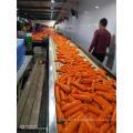 Nouvelle récolte de carottes fraîches 2019
