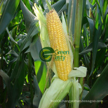 IQF Frozen Middle Sweet Corn Kernel