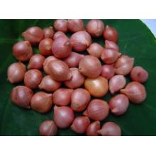 Vegetal de Chalota de Nueva Cultivo Chino con Alta Calidad de Exportación