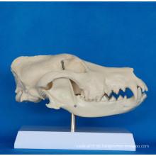 Hochwertige Hundeschädel Anatomie Modell für Biologie Lehre (R190114)