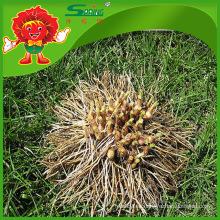 Productos de ajo de alta calidad de proveedores de hookeri de Yunnan