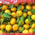 Padrão de qualidade de exportação de mandarim fresco do bebê