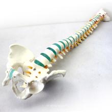 """SPINE04 (12375) Размер медицинская Наука жизни 29"""" в высоту модели медицинской скелет синего позвоночник с таза"""