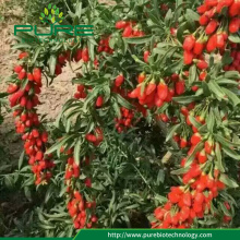 New crop goji berries price 100% natural goji