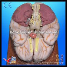 Modelo anatômico avançado de cérebro humano humano
