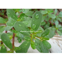 Purslane Extract Flavonoids Good for Blood Pressure