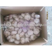 fresh pure white garlic