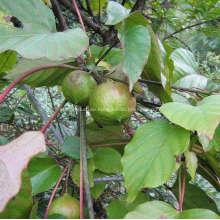 Tungölbaum und Polyurethanboden