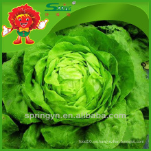 Butterhead vegetales orgánicos verdes Lechuga iceberg chino