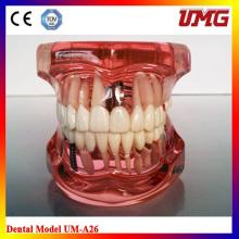 China Dental Instrument Dental Education Models