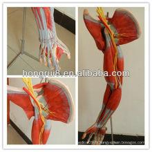 ISO Modèle anatomique vif d'un bras musculaire avec les principaux navires et nerfs