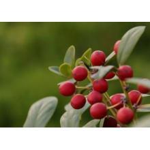 Huile essentielle de wintergreen anti-inflammatoire de qualité pharmaceutique