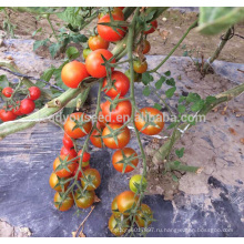 Т33 Шэньчжэнь нет.88 F1 гибрид индетерминантный устойчив TYLCV красный помидоры Черри семена